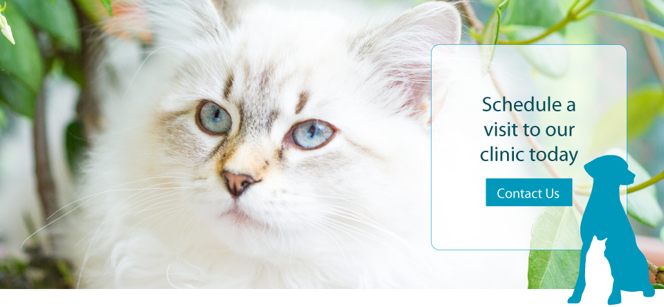 Schedule a visit to our clinic today | Contact us | White long haired Cat